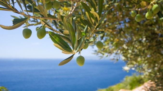 Olivenernte Gardasee
